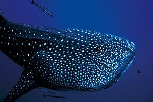Llega a Holbox el tiburón ballena - Jet News