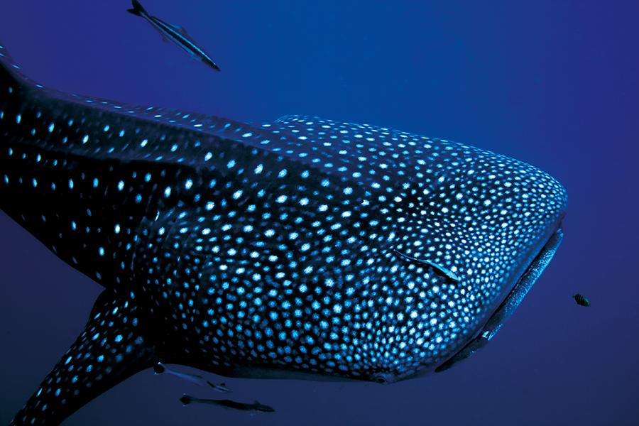 Llega a Holbox el tiburón ballena
