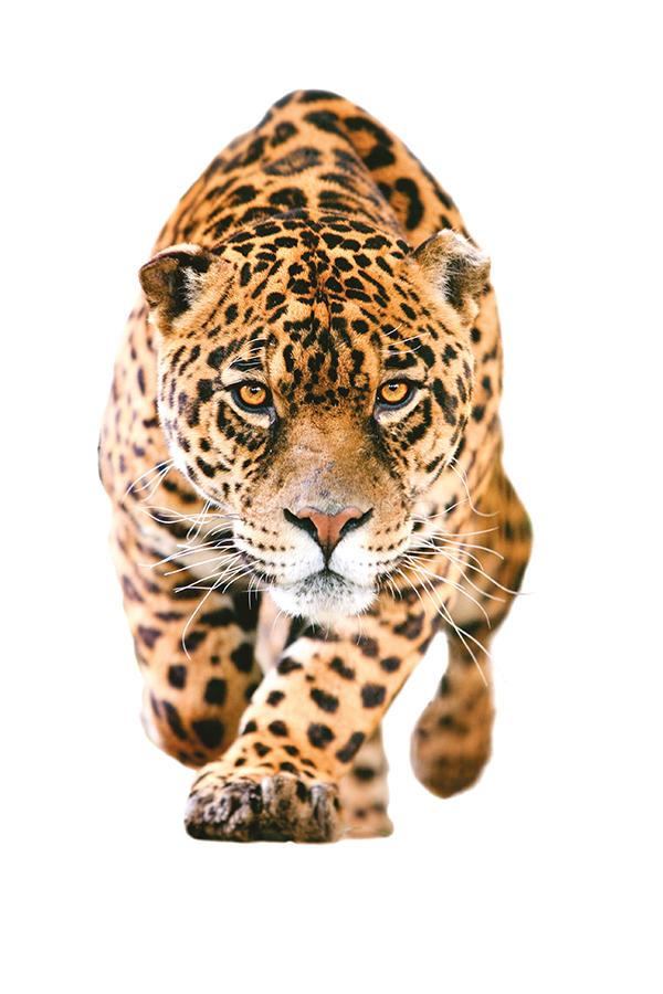 Al rescate del jaguar mexicano
