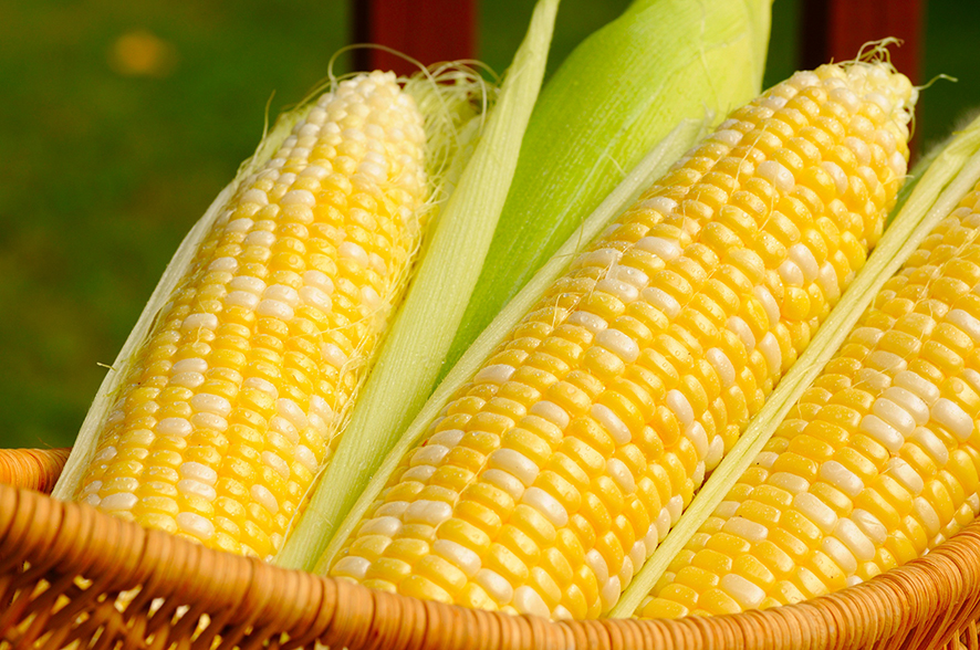 Se espera para este año la comercialización de maíz transgénico