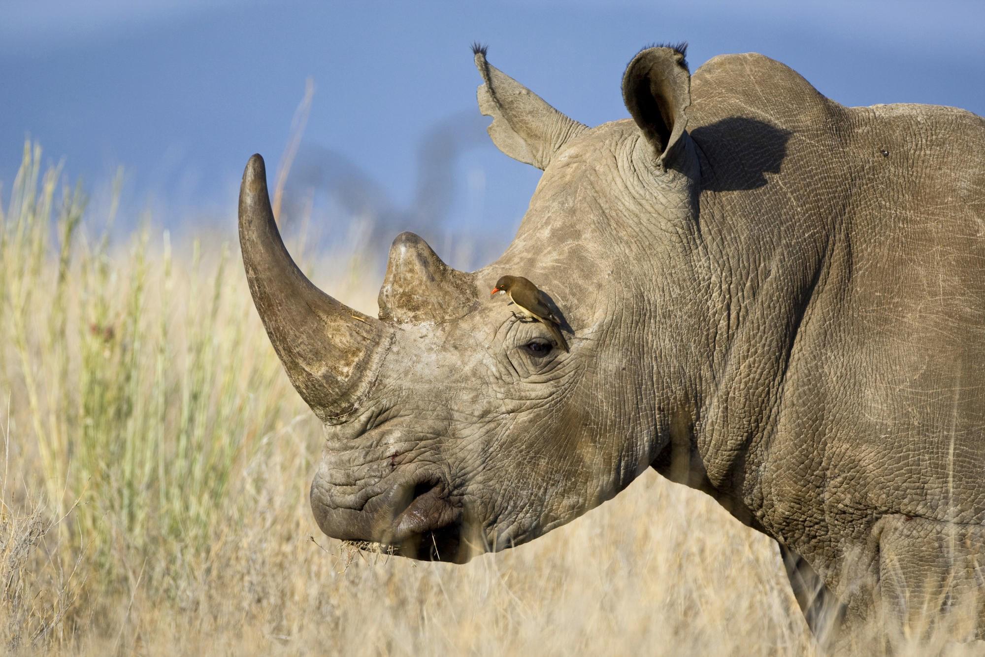 Rinoceronte Blanco del Norte, en extinción