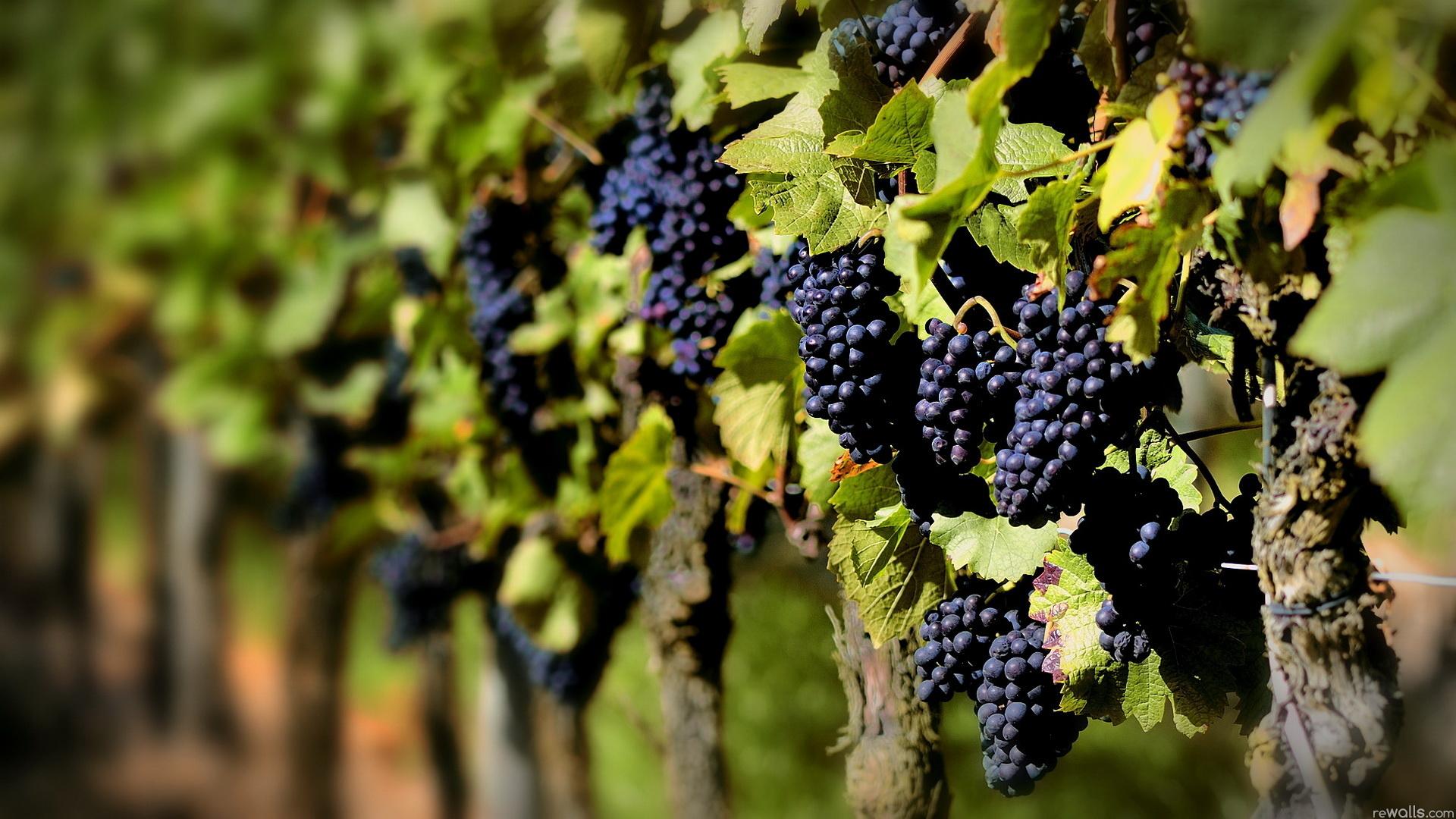 Crece turismo vitivinícola en Guanajuato