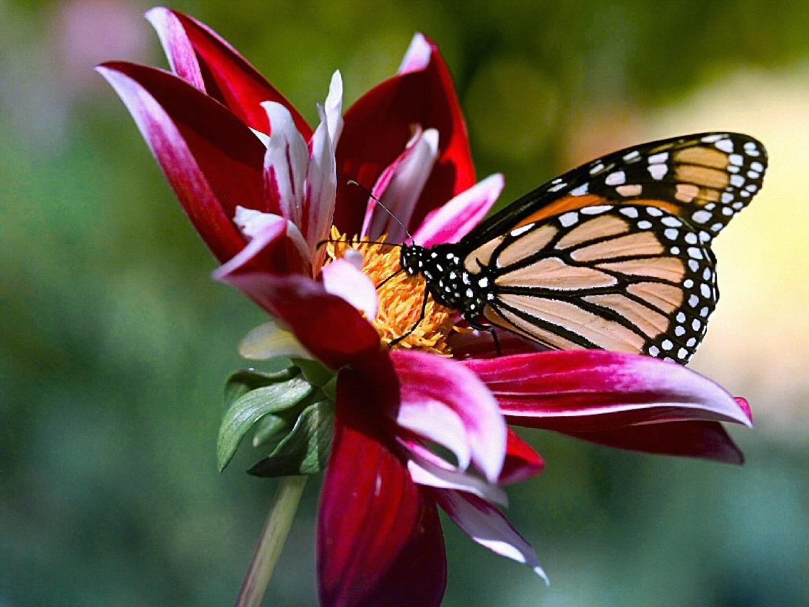 Llegan a México las Mariposas Monarcas