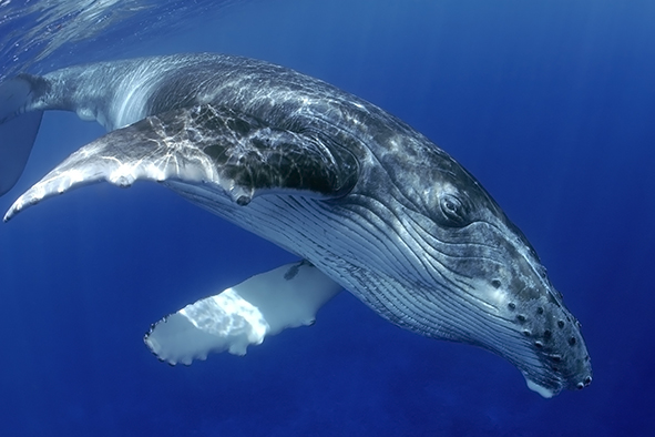 La ballena jorobada en México