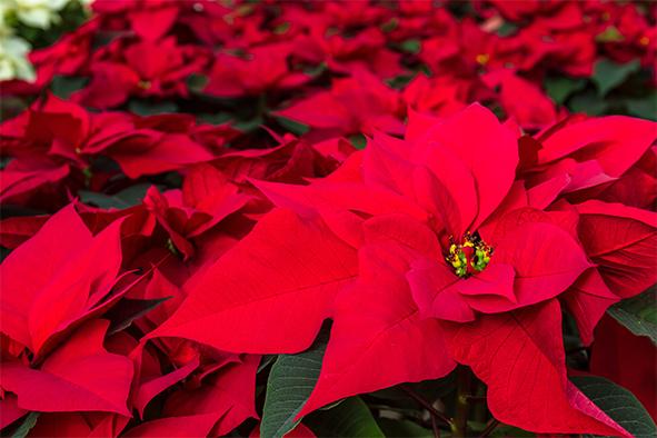 Origen mexicano de la flor de nochebuena