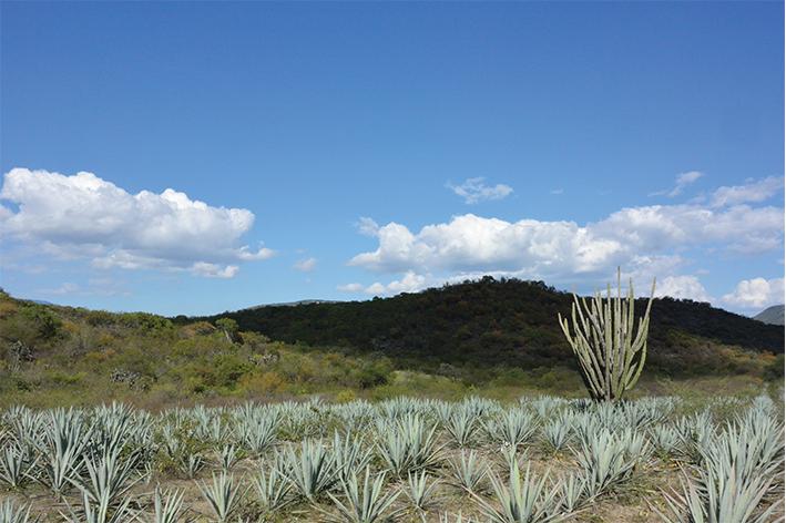 Impulso a la indistria del mezcal en Oaxaca