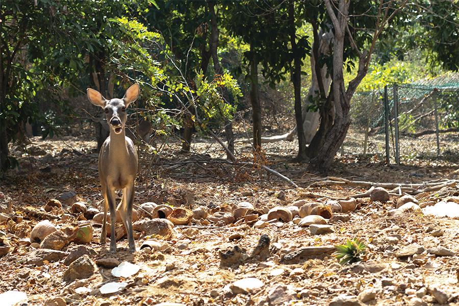 Venado en la reserva ecologica iztapa