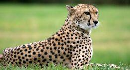 Aparece un leopardo en la pista