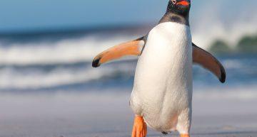 Muere pingüino en Brasil tras ingerir cubrebocas N95